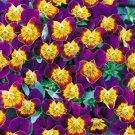 KIMIZA - NEW! 35+ BI-COLOR MINIOLA PURPLE HEART VIOLA FLOWER SEEDS / SHADE PERENNIAL