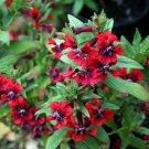 KIMIZA - 15+ CUPHEA SCARLET RED CIGAR PLANT FLOWER SEEDS PERENNIAL