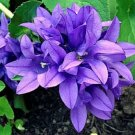 KIMIZA - 50+ CAMPANULA BLUE CANTERBURY BELLS PERENNIAL FLOWER SEEDS