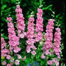 KIMIZA - 25+ PINK DELPHINIUM CONSOLIDA PERENNIAL FLOWER SEEDS