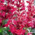KIMIZA - 50+ AGASTACHE RED HEATHER QUEEN FLOWER SEEDS / PERENNIAL / LONG LASTING