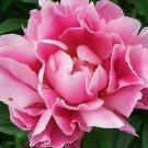 KIMIZA - 50+ PINK PEONY SELF-SEEDING ANNUAL FLOWER SEEDS