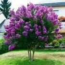 KIMIZA - 40+ JAPANESE TREE PURPLE LILAC SEEDS PERENNIAL POWERFUL LOVELY FRAGRANT Syringa
