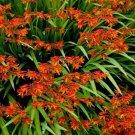 KIMIZA - 25+ FLAME ORANGE CROCOSMIA FLOWER SEEDS / PERENNIAL