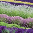 KIMIZA - MOST FRAGRANT! 30+ WHITE, RED & PURPLE LAVENDER MIX FLOWER SEEDS / PERENNIAL
