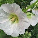 KIMIZA - GIANT PURE WHITE DANISH HOLLYHOCK FLOWER SEEDS 50+ LONG LASTING PERENNIAL