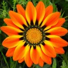 KIMIZA - 30+ ORANGE PEACOCK GAZANIA FLOWER SEEDS / DROUGHT TOLERANT / RESEEDING ANNUAL