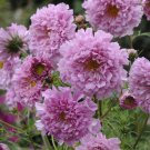 KIMIZA - 40+ COSMOS DOUBLE CLICK PINK FLOWER SEEDS / LONG LASTING ANNUAL