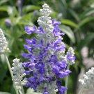 KIMIZA - 40+ SALVIA SILVERY BLUE STRATA FLOWER SEEDS / PERENNIAL / DEER, DROUGHT TOLERANT