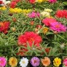 KIMIZA - 75+ MOSS ROSE MIX / PORTULACA / SUCCULENT / LONG LASTING ANNUAL FLOWER SEEDS