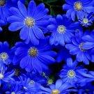 KIMIZA - NEW! 30+ FELICIA, BLUES BLUE DAISY FLOWER SEEDS / LONG LASTING ANNUAL