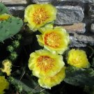 KIMIZA - 20+ PRICKLY PEAR CACTUS FLOWER SEEDS / WINTER HARDY PERENNIAL