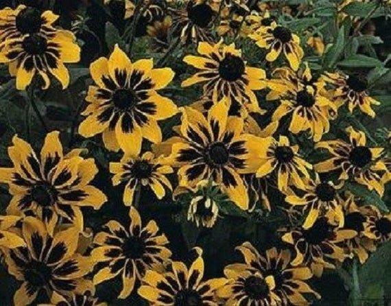 KIMIZA - NEW 30+ RUDBECKIA SOLAR ECLIPSE FLOWER SEEDS / PERENNIAL