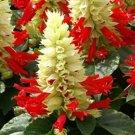 KIMIZA - 40+ REDDY WHITE SURPRISE SALVIA FLOWER SEEDS / DROUGHT TOLERANT PERENNIAL