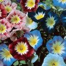 KIMIZA - 25+ ENSIGN MIX MORNING GLORY FLOWER SEEDS/ PERENNIAL / CONVOLVULUS