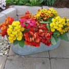 KIMIZA - 25+ CALCEOLARIA DAINTY MIX FLOWER SEEDS / SLIPPER FLOWER / POCKECKET BOOK PLANT