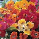 KIMIZA - 40+ NEMESIA CARNIVAL MIX FLOWER SEEDS /ANNUAL / SWEET COCONUT SCENT