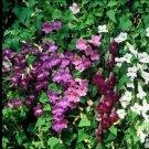 KIMIZA - 20+ ASARINA FLOWER SEEDS MIX / CLIMBING SNAPDRAGON / PERENNIAL