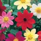 KIMIZA - NEW! 20+ DAHLIA PICCOLO FLOWER SEEDS MIX