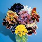 KIMIZA - NEW! 35+ PANSY FLOWER SEEDS / BOLERO FLAMENCO MIX