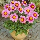 KIMIZA - New! 15 + Dahlia Cute Pink Colorful Flower Seeds
