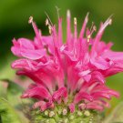 KIMIZA - 50+ PINK MONARDA BEE BALM FLOWER SEEDS / DEER RESISTANT PERENNIAL / GREAT GIFT