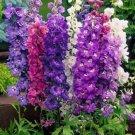 KIMIZA - GIANT DELPHINIUM 25+ FLOWER SEEDS MIX / PERENNIAL