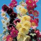 KIMIZA - RARE! 11 FT TALL GIANT DANISH HOLLYHOCK FLOWER SEEDS MIX 50+ / PERENNIAL