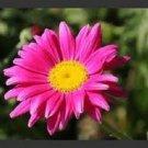 KIMIZA - 50+ ROSE CHRYSANTHEMUM COCCINEUM PERENNIAL FLOWER SEEDS / DEER RESISTANT/ GIFT