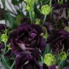 KIMIZA - 20+ BLACK PEARL LISIANTHUS FLOWER SEEDS / EUSTOMA / ANNUAL / GREAT CUT FLOWER