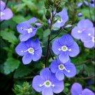 KIMIZA - 50+ OXFORD BLUE CREEPING SPEEDWELL FLOWER SEEDS / PERENNIAL