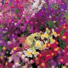 KIMIZA - 50+ MORRACAN TOADFLAX FLOWER SEEDS MIX / DEER RESISTANT ANNUAL