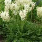 KIMIZA - 35+ WHITE FLOWERING FERN PERENNIAL FLOWR SEEDS / FILIPENDULA / DEER,RABBIT RESI