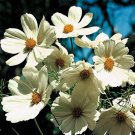 """KIMIZA - 50+ COSMOS """"PURITY' WHITE"""" FLOWER SEEDS / LONG LASTING ANNUAL"""