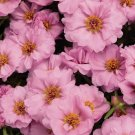 KIMIZA - 50+ SUNDIAL PINK PORTULACA MOSS ROSE SEEDS ANNUAL GROUND-COVER FLOWER SEEDS