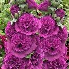 KIMIZA - 30 + Purple Dane Giant Double Hollyhock Flower Seed