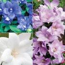 KIMIZA - 40+ PLATYCODON DOUBLE BALLOON MIXED FLOWER SEEDS (BLUE, WHITE, PINK/) PERENNIAL