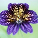 KIMIZA - 20+ RARE BLUE STAINED-GLASS FLOWER SEEDS / SALPIGLOSSIS / LONG LASTING ANNUAL