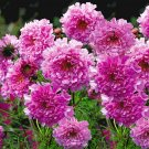 KIMIZA - 40+ COSMOS DOUBLE CLICK ROSE FLOWER SEEDS / LONG LASTING ANNUAL