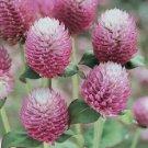 KIMIZA - 40+ BI-COLOR ROSE GOMPHRENA FLOWER SEEDS / ANNUAL