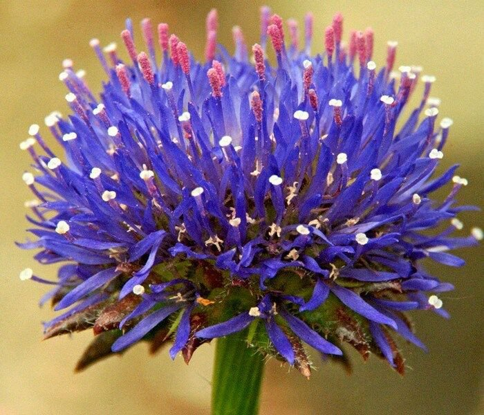 KIMIZA - 40+ JASIONE BLUE LIGHT FLOWER SEEDS / SCABIOSA PINCUSHION FAMILY / PERENNIAL
