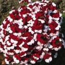 "KIMIZA - 40+ NEMESIA BI-COLOR ""DANISH FLAG"" FLOWER SEEDS / ANNUAL"