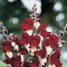 KIMIZA - 30+ ANTIRRHINUM NIGHT AND DAY SNAPDRAGON FLOWER SEEDS / LONG LASTING ANNUAL