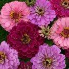 KIMIZA - 50+ ZINNIA ART DECO FLOWER SEED MIX / LONG LASTING ANNUAL MAROON,PINK,LAVENDER