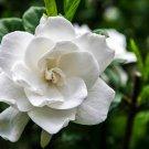 KIMIZA - 15+ WHITE GARDENIA FLOWER SEEDS / LONG LASTING PERENNIAL / GARDEN OR INDOORS