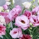 KIMIZA - 20+ LISIANTHUS PINK AND WHITE FLOWER SEEDS MIX / LONG LASTING ANNUAL
