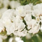 KIMIZA - 50+ WHITE STATICE FLOWER SEEDS / LONG LASTING ANNUAL / GREAT GIFT