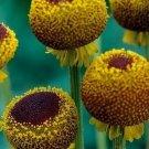KIMIZA - 50+ HELENIUM AUTUMN LOLLIPOP PERENNIAL FLOWER SEEDS