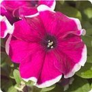 KIMIZA - 40+ PETUNIA HULAHOOP ROSE FLOWER SEEDS / LONG LASTING ANNUAL