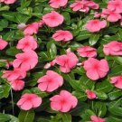 KIMIZA - 40+ FRAGRANT PERIWINKLE ROSEA FLOWER SEEDS / LONG LASTING ANNUAL